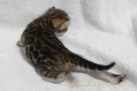 3週齢_四女3:背中〜ヒップ、尻尾の付け根までロゼット模様です!